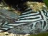 hypancistrus_zebra