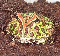hornedfrog