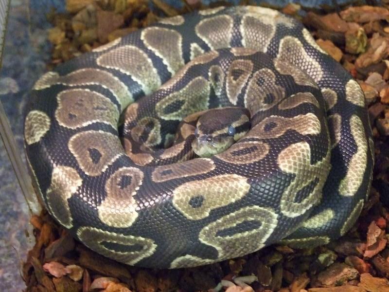 snake015
