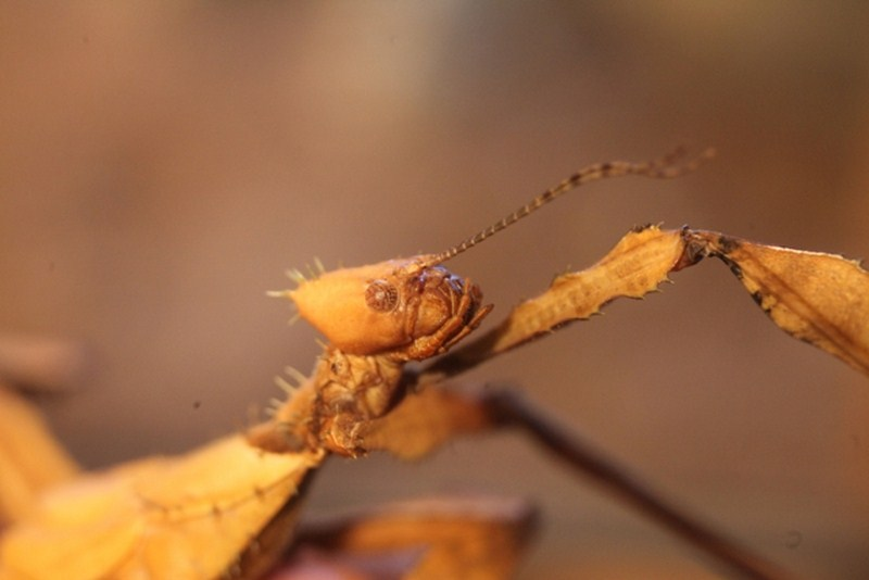 Stick Insect Prickly 04