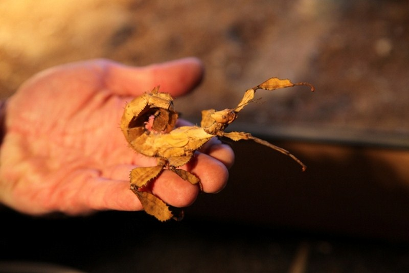 Stick Insect Prickly 11